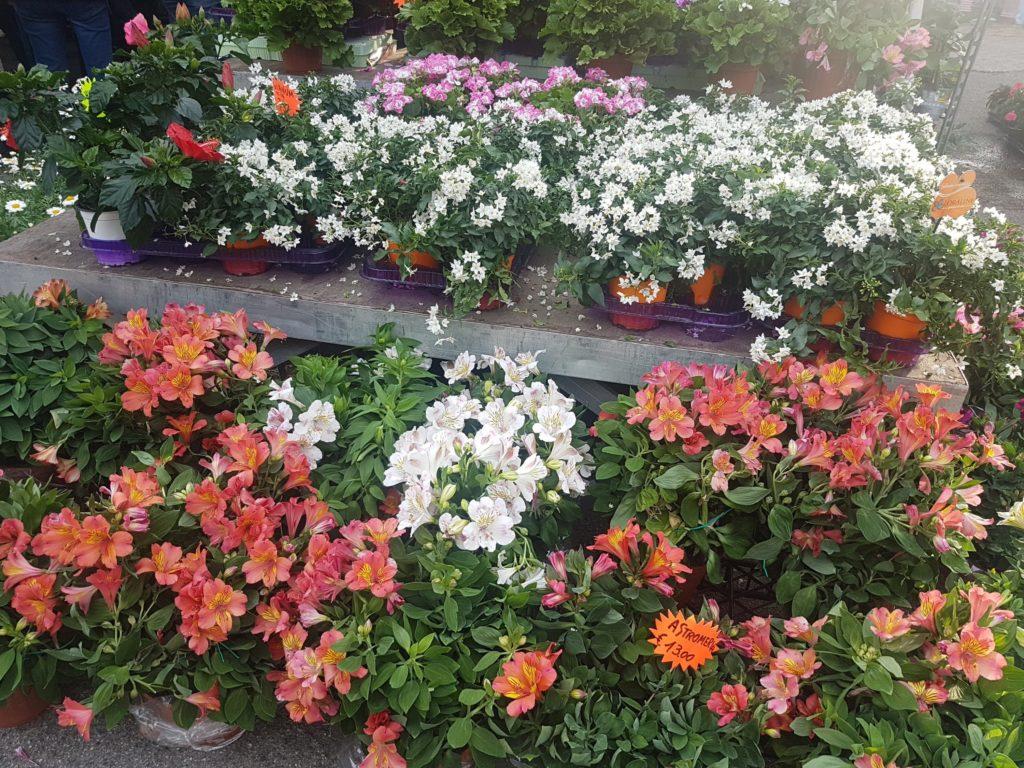 Lignano in fiore e le sue tante piantine per allietare giardini e terrazzi