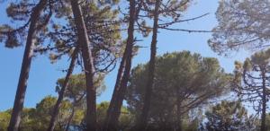 I pini a Lignano Pineta